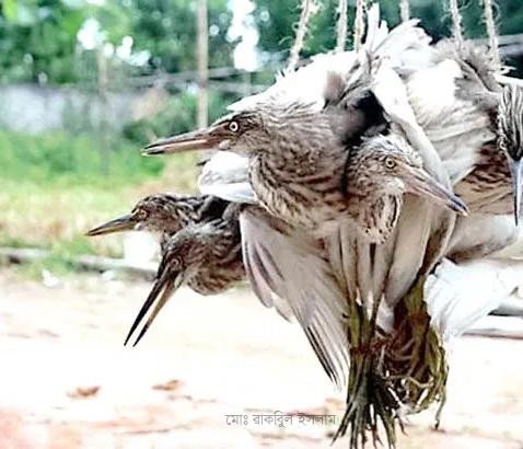 শীতে বেড়েই চলছে পাখি শিকারীর বেপরোতা!!