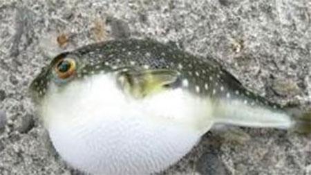 পটকা মাছ খেয়ে বউ-শ্বাশুড়ির মৃত্যু