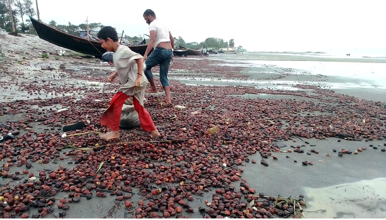 কুয়াকাটা সৈকতে বিছিয়ে রয়েছে রঙ্গিন সুন্দরী ফল।।